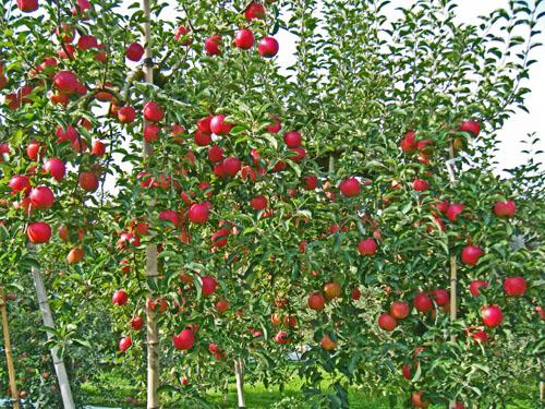 りんご狩りに行くならドリームタ...