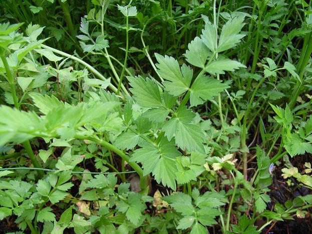 石川県森林公園の野草と公園のご紹介 食べられる野草と毒草