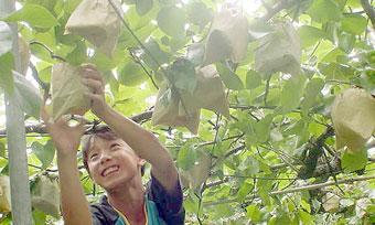 梨華園の梨狩り