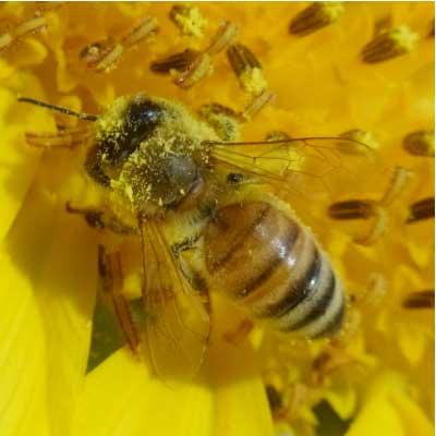 ミツバチの画像 p1_1